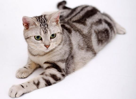 chat american shorthair