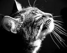 moustache du chat