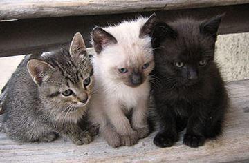 variété et race de chat