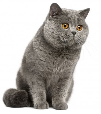 chat race british shorthair