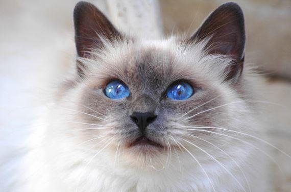 Résultats de recherche d'images pour «chat birman»