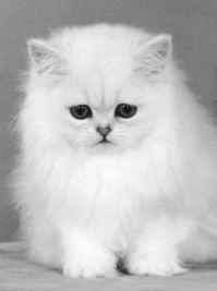 shorthair blanc