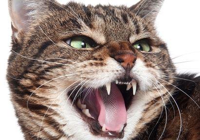 problème dent chat