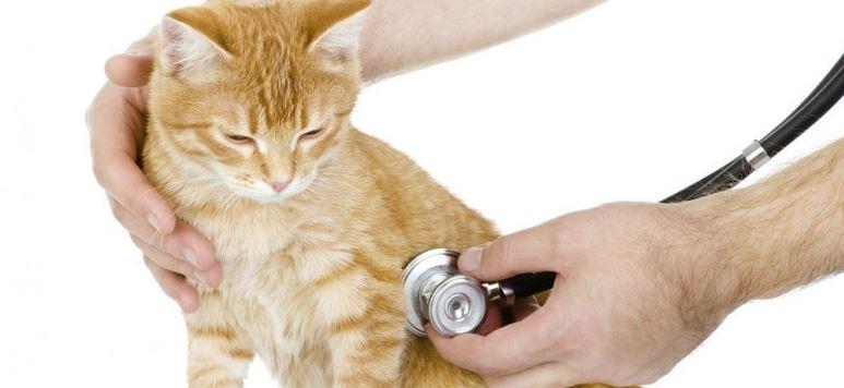 maladie des chat