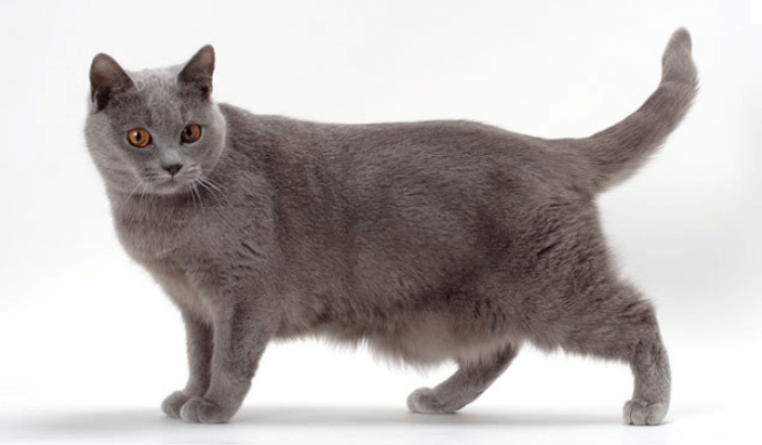 chartreux chat